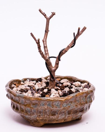 Crassula sarcocaulis #3 umgetopft