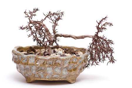 Crassula sarcocaulis #3 mit Frostschaden
