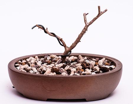 Crassula sarcocaulis #4 umgetopft