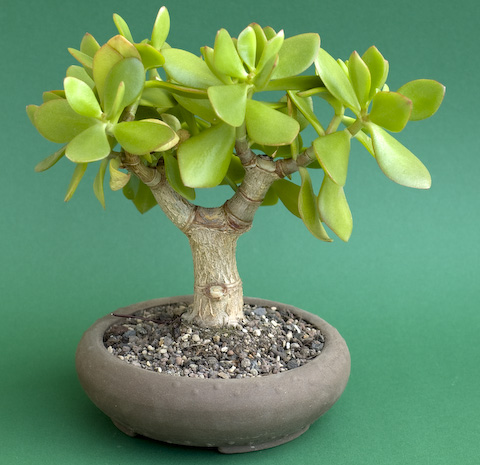 Bonsai Crassula