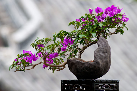 Drillingsblume als Bonsai