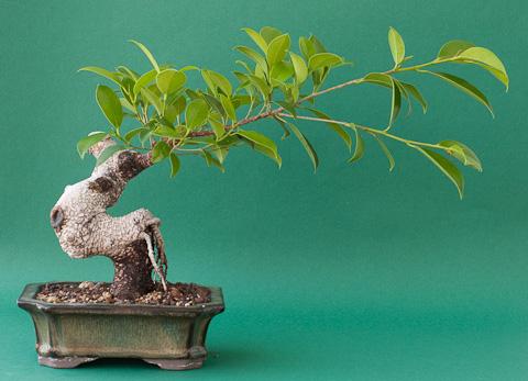 Bonsai Ficus retusus #2