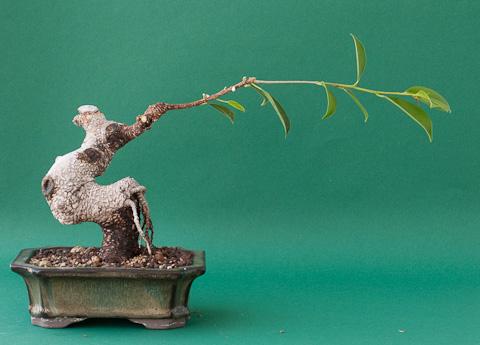Bonsai Ficus retusus #3