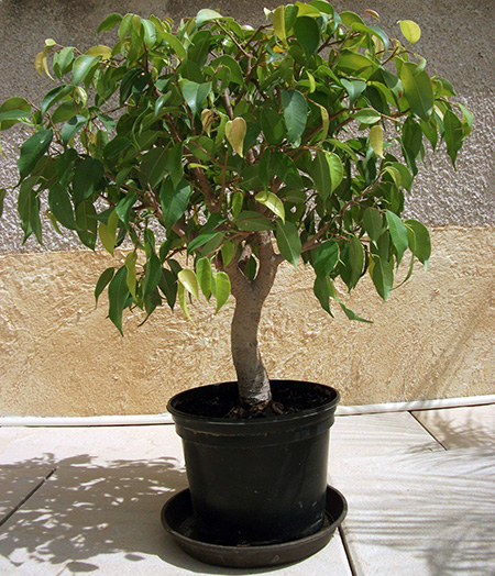 Ficus benjamini als Bonsai