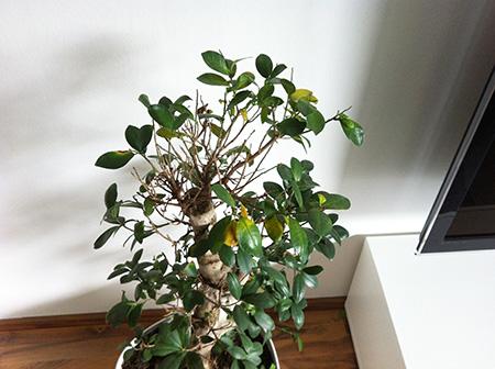 Warum Verliert Dieser Ficus Microcarpa Seine Blatter