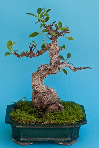 Ficus am Winterende