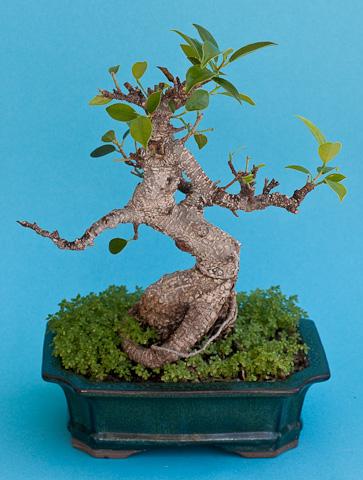 Ficus am Winterende von hinten