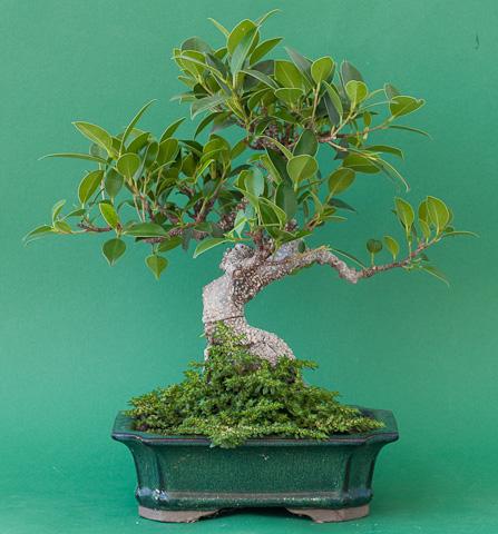 Ficus retusa 2009