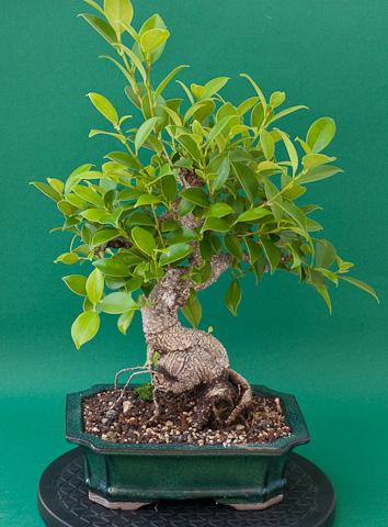 Ficus retusa im Juli