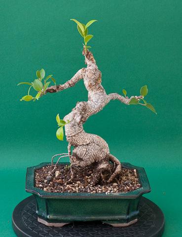 Ficus retusa nach dem Rückschnitt