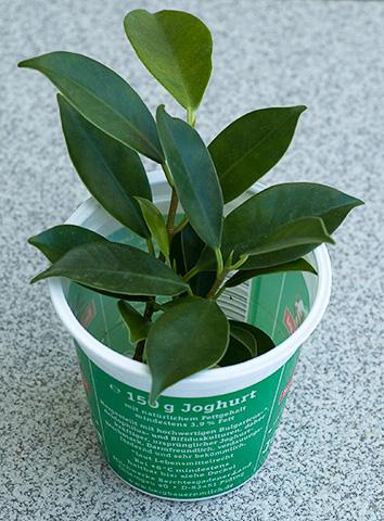 Ficus Steckling im Joghurtbecher