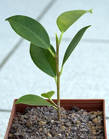 Ficus Steckling im ersten Topf