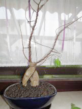Ficus nach dem Laubfall