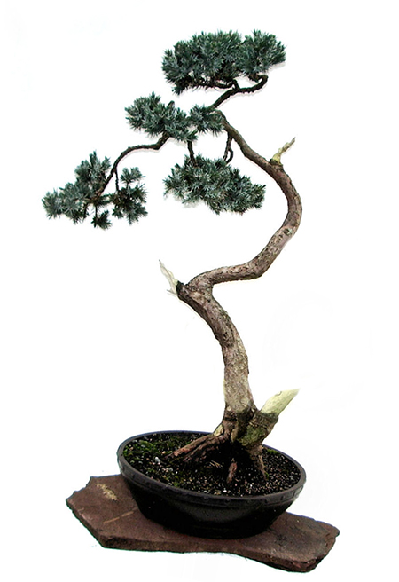 platz 16 und 17 beim bonsai fotowettbewerb einzelfotos. Black Bedroom Furniture Sets. Home Design Ideas