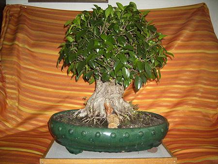 Ficus als Bonsai