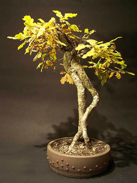 Eiche als Bonsai
