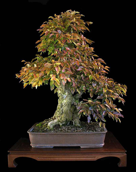 Bonsai laden pflanzen f r nassen boden for Pflanzen laden berlin