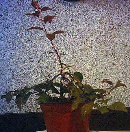 Kirschbaum 2