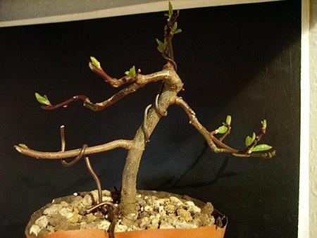 Kirschbaum 4