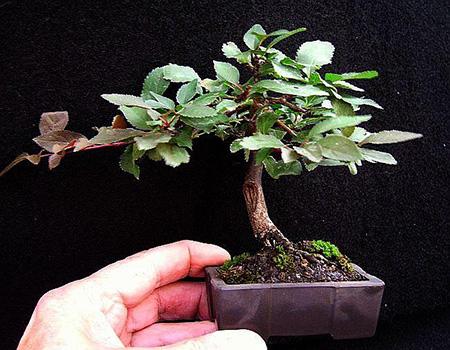 Kirschbaum 5