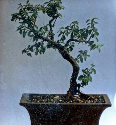 Prunus spinosa 1986