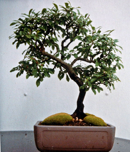 Prunus spinosa 1990