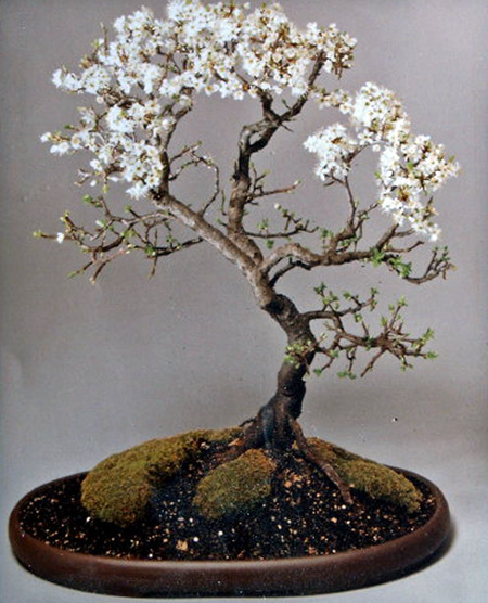 Prunus spinosa 1996