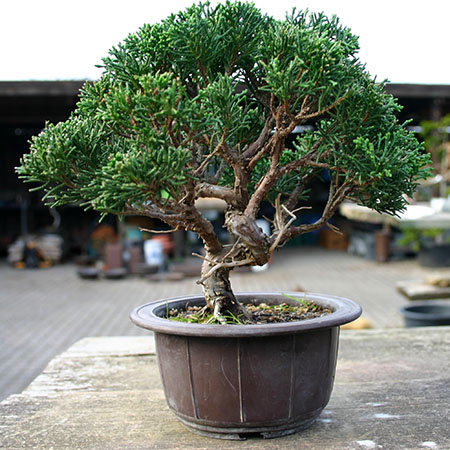 erstgestaltung eines chinesischen wacholders juniperus chinensis. Black Bedroom Furniture Sets. Home Design Ideas