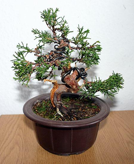 Juniperus chinensis nach Grungestaltung