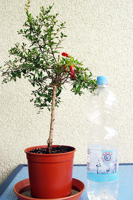 Granatapfel mit Wasserflasche