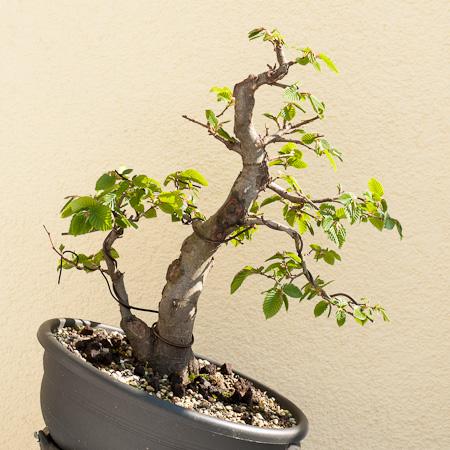 gedanken ber die weitere bonsaigestaltung einer zweist mmigen hainbuche carpinus betulus. Black Bedroom Furniture Sets. Home Design Ideas