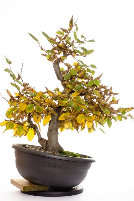 Carpinus betulus Bonsai #2 Oktober 2013
