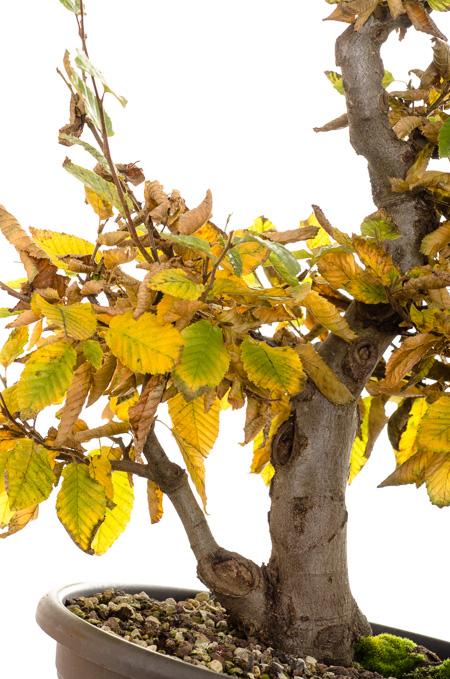 Hochformat Hainbuche Bonsai #2 Oktober 2013