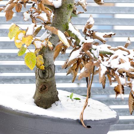 Hainbuche im Schnee