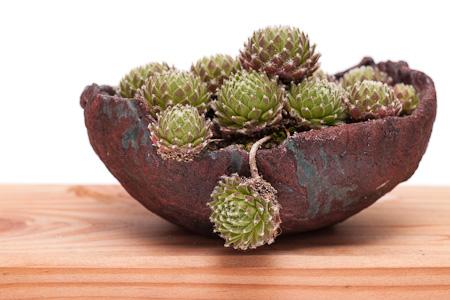 Sempervivum als Akzentpflanze