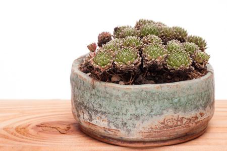 Sempervivum in einer Kusamono-Schale