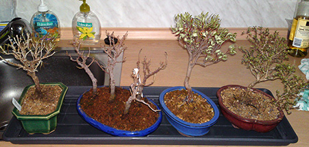 Ina`s Bonsai im Winter