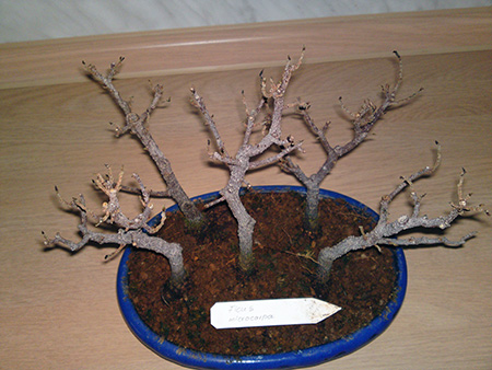 Ficus Bonsai im Winter