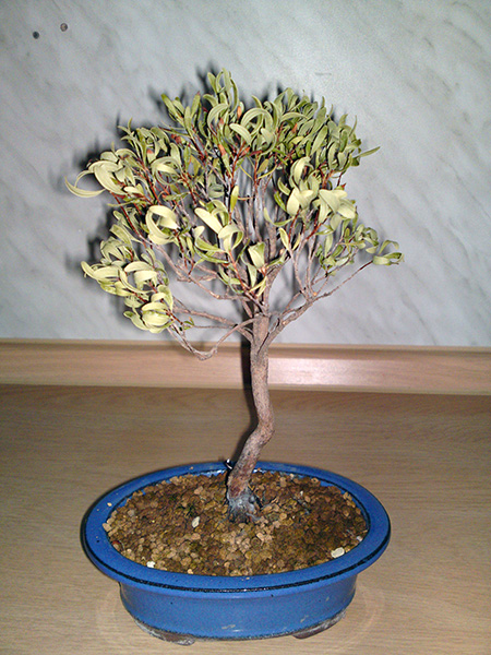 Noname Bonsai im Winter