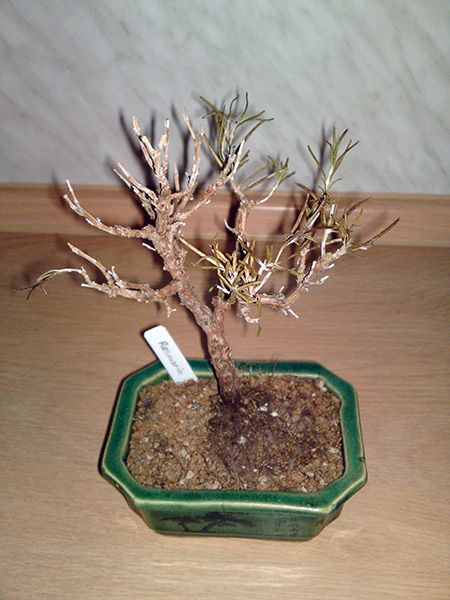 Rosmarin Bonsai im Winter