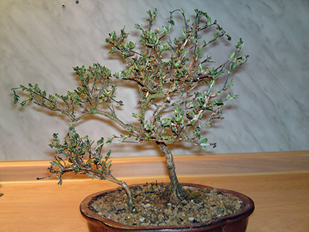 Serissa Bonsai im Winter