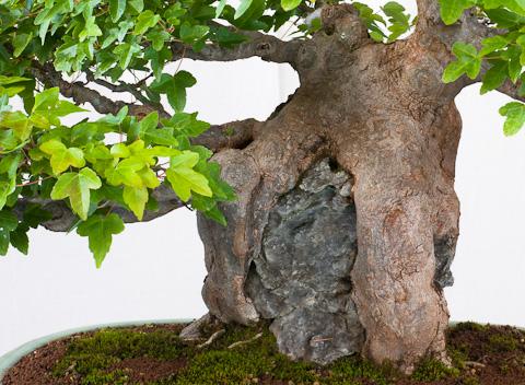 Acer buergerianum Ishizuke