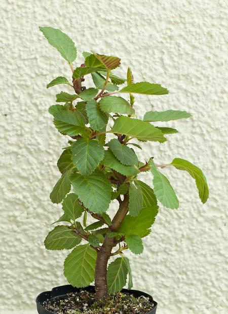 Jungpflanze Schwarzerle