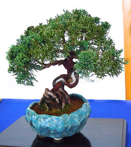 Juniperus shinensis Shohin