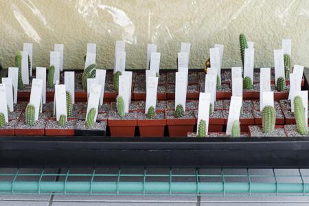 Kakteen-Stecklinge auf dem Balkon