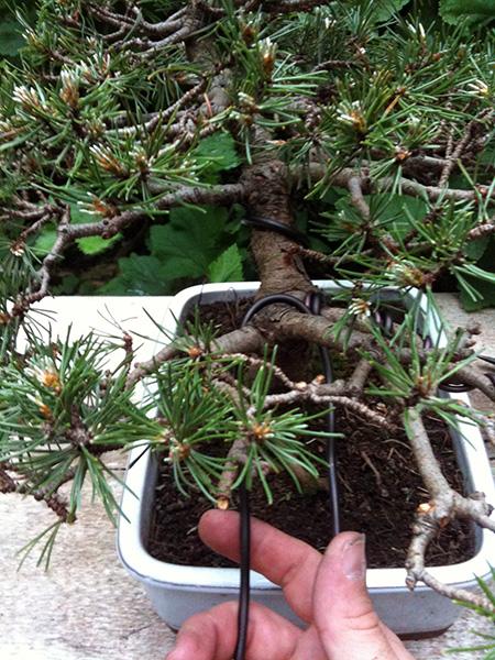 Drahtung Pinus mugo