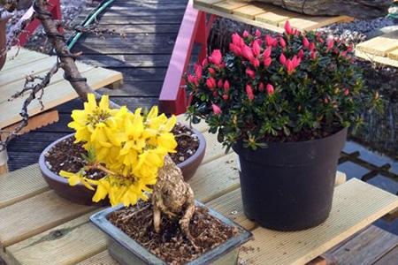 Forsythie als Bonsai im Frühjahr
