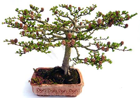 30 jahre alte bonsai l rche von knuth groschupf. Black Bedroom Furniture Sets. Home Design Ideas