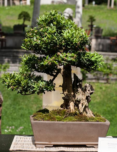 Buchsbaum mit Totholz