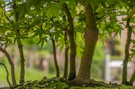 Fächerahornwald